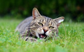 Обои кот, морда, трава, пасть, серый, лежит