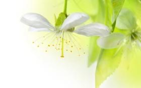Обои цветок, яблоня. листья, белый, светлый фон
