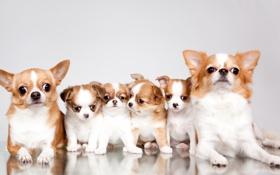 Обои семья, щенки, чихуахуа, милые