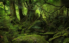 Картинка лес, деревья, природа, камень, мох, чаща