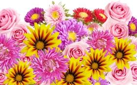 Обои розы, лепестки, цветы