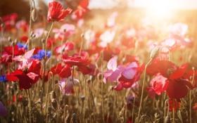 Картинка лето, закат, цветы, природа, маки