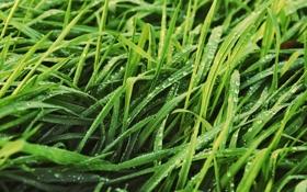 Обои газон, капли, трава, роса, зелень, листья, природа