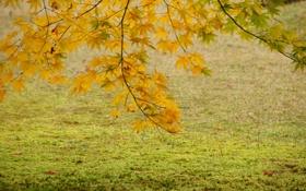 Картинка осень, листья, дерево, желтые, клен