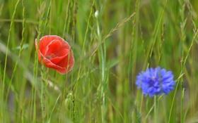 Картинка поле, трава, цветы, мак, луг