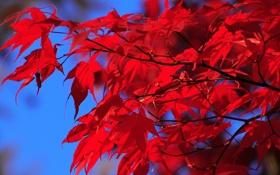 Картинка осень, небо, листья, краски, багрянец