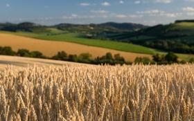 Обои пшеница, поле, небо, природа, поля