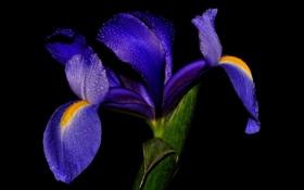 Картинка цветок, вода, капли, природа, роса, растение, лепестки