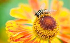Обои цветок, макро, пчела, лепестки, насекомое