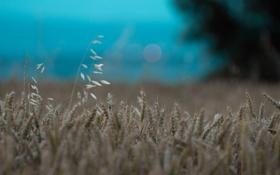 Картинка поле, пейзаж, колосья