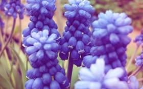 Обои синее, цветы, мускари, лето