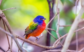 Обои Florida, Male Painted Bunting, Green Cay Wetlands