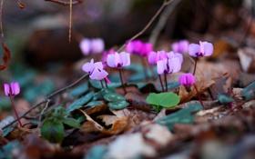 Обои фиолетовый, весна, цветы