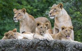Обои язык, кошки, камень, семья, львята, львица, зевает