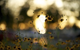 Картинка закат, цветы, жёлтый, стебли, лепестки, бардовый, боке