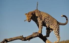 Обои бревно, дикая кошка, хищник, небо, леопард