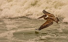 Обои море, полет, птица, пеликан