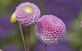Картинка бутон, розовые, георгины