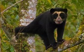 Картинка лес, дерево, медвежонок, Эквадор, очковый медведь