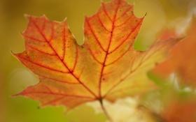 Обои осень, макро, лист, цвет, размытие, прожилки