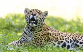 Картинка кошка, лето, трава, ягуар, ©Tambako The Jaguar