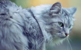 Обои кот, серый, пушистый, большой