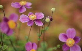 Обои цветы, природа, фокус, бутоны, анемона, anemone
