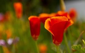 Обои оранжевый, фон, мак, калифорнийский
