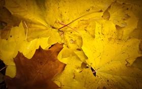 Обои осень, листья, жёлтый, клён