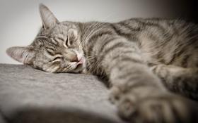 Картинка язык, кот, лапа, лежит