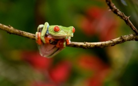 Обои природа, фон, Red-eyed Tree Frog