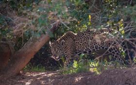 Картинка хищник, пятна, ягуар, дикая кошка