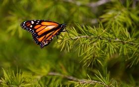 Обои иголки, бабочка, ветка, метелик, батрфляй