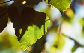 Картинка зелень, листья, макро, свежесть, дерево, листва, листок