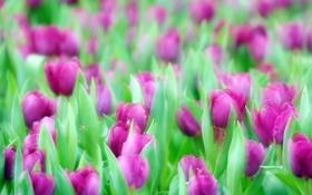 Обои природа, тюльпаны, цветы