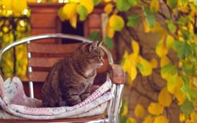 Картинка осень, кошка, кот, листья, желтые, стул