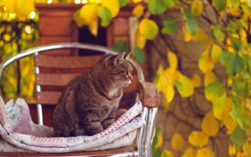 Обои листья, осень, стул, желтые, кот, кошка