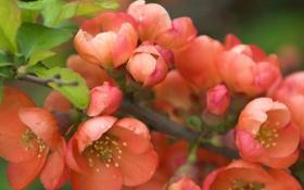 Картинка макро, цветы, ветка, лепестки, бутоны, цветение