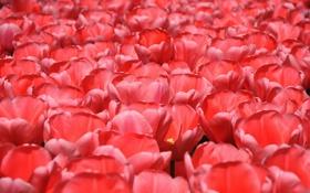 Обои поле, цветы, лепестки, луг, тюльпаны