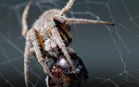 Картинка spider, legs, eyes, fang, dinner