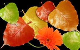 Обои осень, цветок, листья, свет, блеск, лепестки