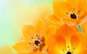 Картинка цветы, flowers, оранжевые тюльпаны, orange tulips