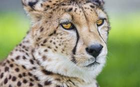 Картинка кошка, морда, гепард, ©Tambako The Jaguar