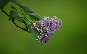 Обои цветы, куст, ветка, весна, сирень