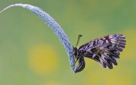 Картинка капли, роса, бабочка, колосок