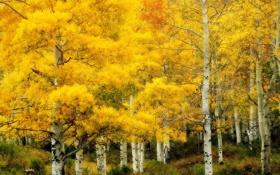 Обои осень, природа, золотая, берёзовая роща