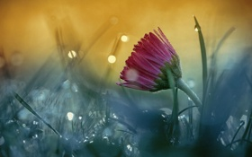Картинка макро, цветок, трава, роса, боке