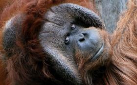 Обои взгляд, обезьяна, Orangutan