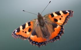 Картинка макро, крылья, насекомое, окрас, ь бабочка