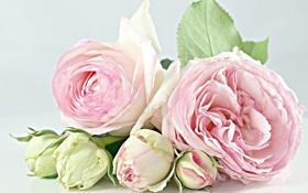 Обои бутоны, розы, нежность